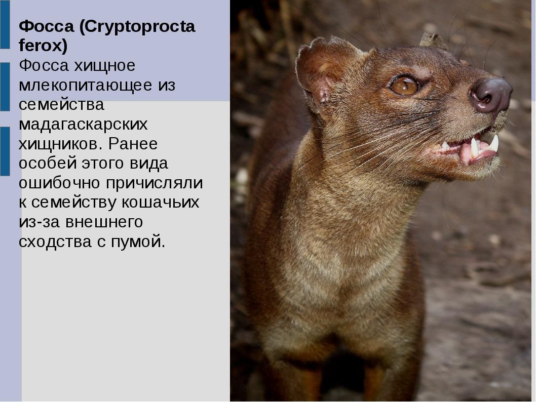 Фосса (Cryptoprocta ferox) Фосса хищное млекопитающее из семейства мадагаскар...