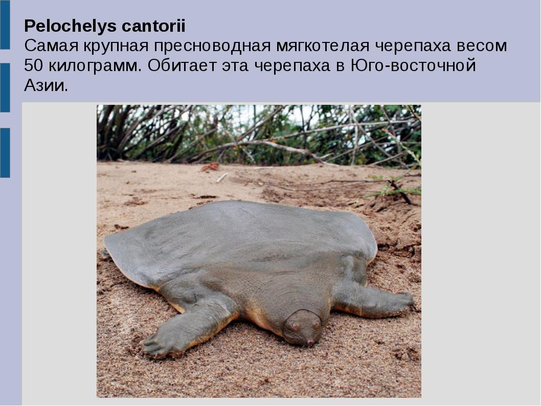 Pelochelys cantorii Самая крупная пресноводная мягкотелая черепаха весом 50 к...