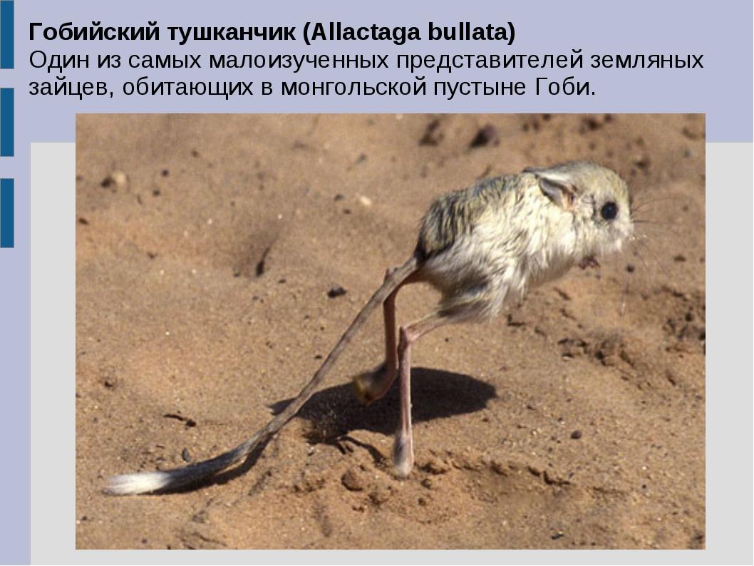 Гобийский тушканчик (Allactaga bullata) Один из самых малоизученных представи...