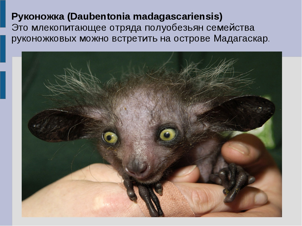 Руконожка (Daubentonia madagascariensis) Это млекопитающее отряда полуобезьян...