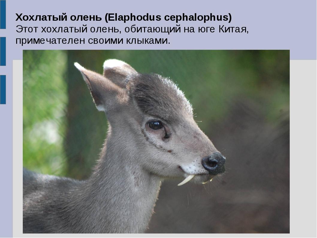 Хохлатый олень (Elaphodus cephalophus) Этот хохлатый олень, обитающий на юге...