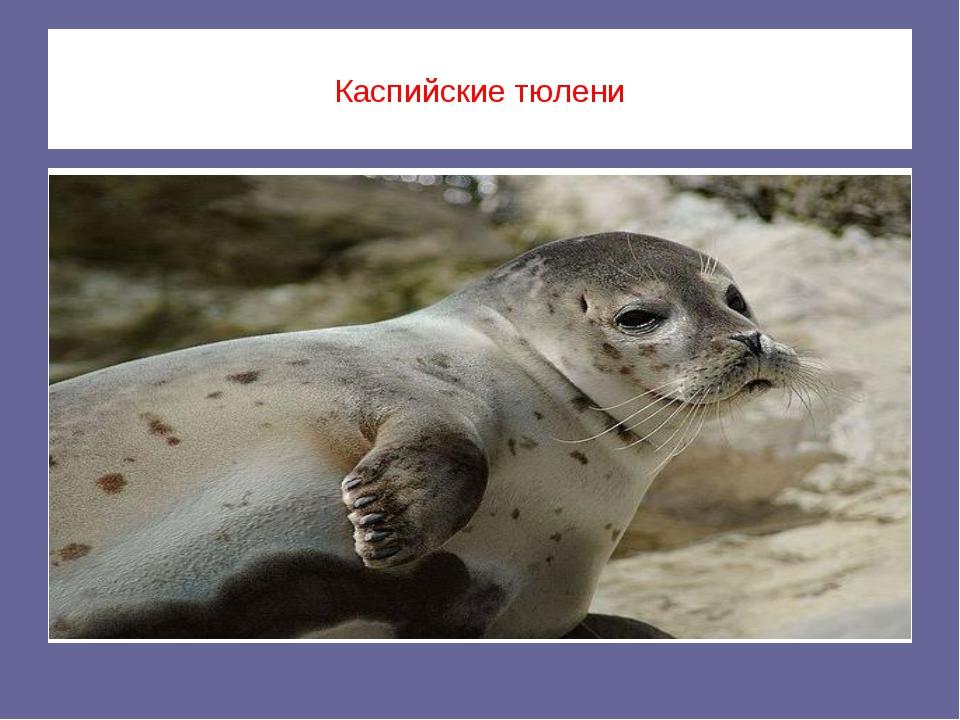 Каспийские тюлени