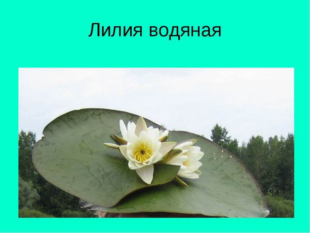 Лилия водяная