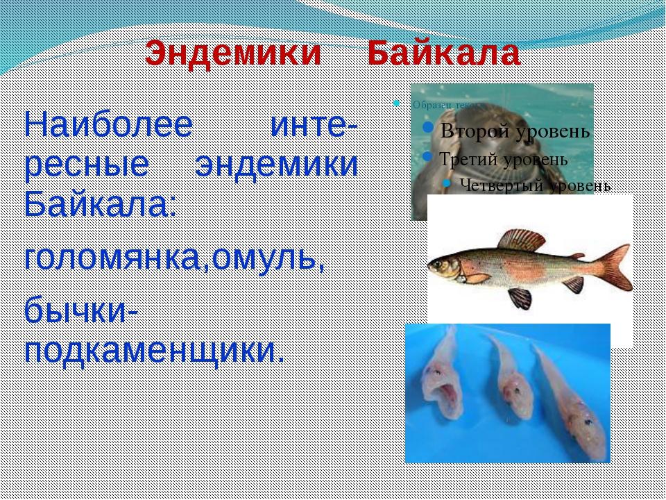 Эндемики Байкала Наиболее инте-ресные эндемики Байкала: голомянка,омуль, бычк...