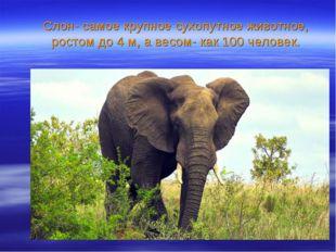 Слон- самое крупное сухопутное животное, ростом до 4 м, а весом- как 100 чело