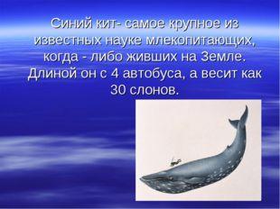 Синий кит- самое крупное из известных науке млекопитающих, когда - либо живши