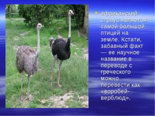африканский страус является самой большой птицей на земле. Кстати, забавный