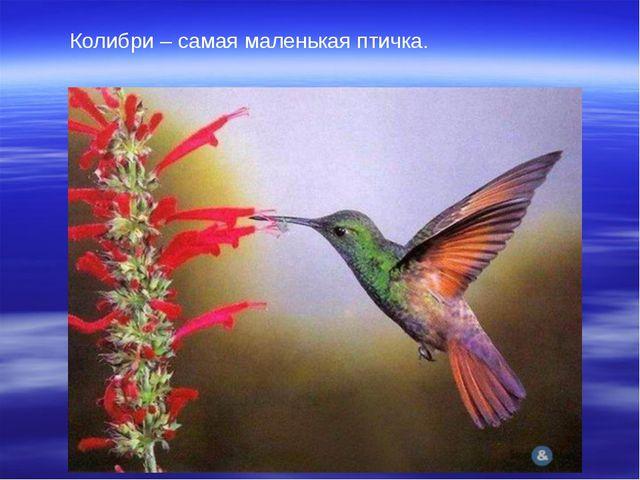 Колибри – самая маленькая птичка.