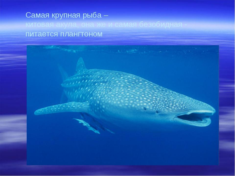 Самая крупная рыба – китовая акула, она же и самая безобидная - питается пла...