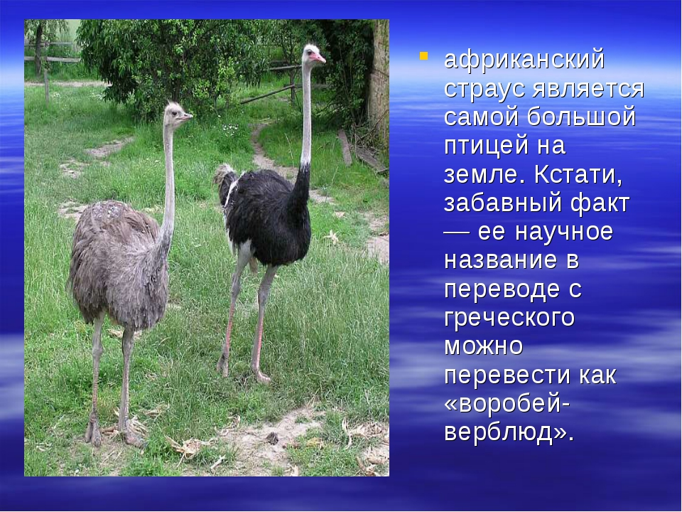африканский страус является самой большой птицей на земле. Кстати, забавный...