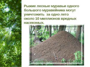 Рыжие лесные муравьи одного большого муравейника могут уничтожить за одно лет