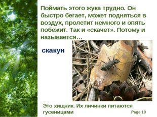 Поймать этого жука трудно. Он быстро бегает, может подняться в воздух, пролет