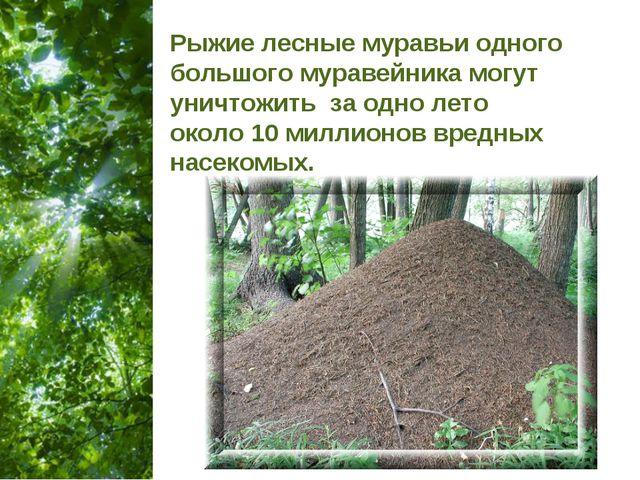 Рыжие лесные муравьи одного большого муравейника могут уничтожить за одно лет...