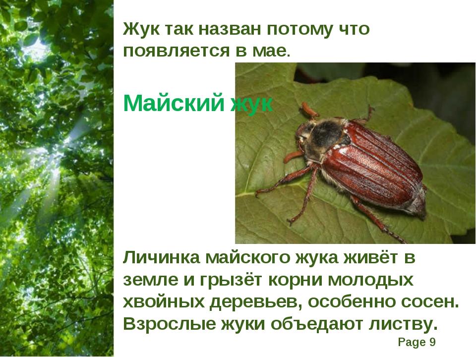 Жук так назван потому что появляется в мае. Майский жук Личинка майского жука...