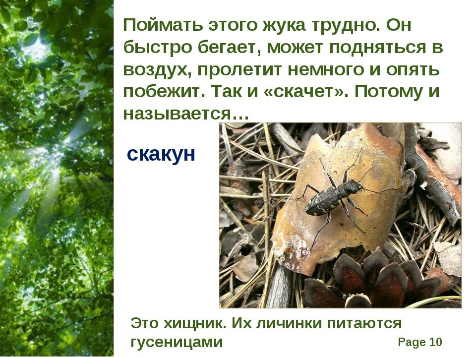Поймать этого жука трудно. Он быстро бегает, может подняться в воздух, пролет...