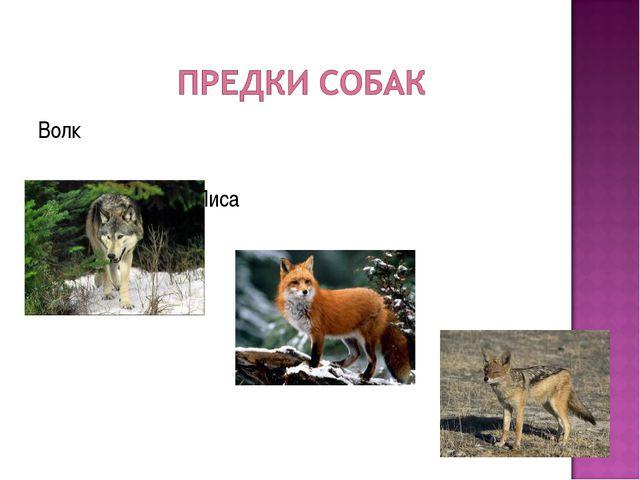Волк Лиса Шакал