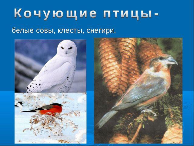 белые совы, клесты, снегири.