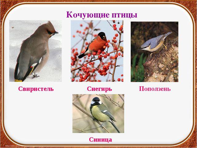 Кочующие птицы Свиристель Снегирь Поползень Синица