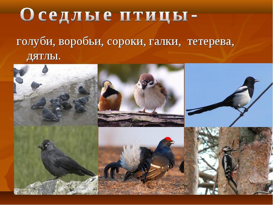 голуби, воробьи, сороки, галки, тетерева, дятлы.