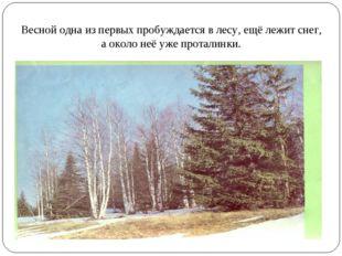 Весной одна из первых пробуждается в лесу, ещё лежит снег, а около неё уже пр