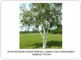 Белоствольная нежная берёзка с давних пор олицетворяет природу России.