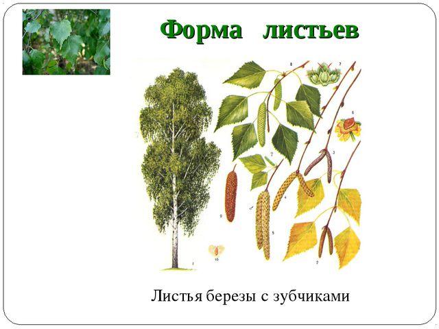 Форма листьев Листья березы с зубчиками