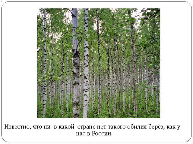 Известно, что ни в какой стране нет такого обилия берёз, как у нас в России.