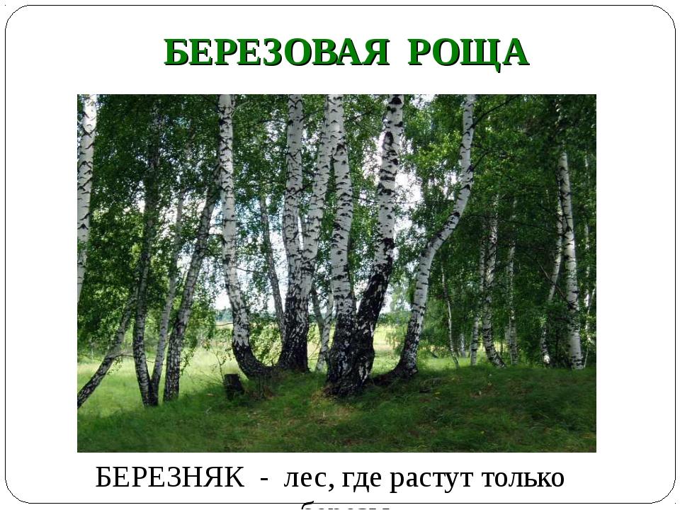 БЕРЕЗОВАЯ РОЩА БЕРЕЗНЯК - лес, где растут только березы