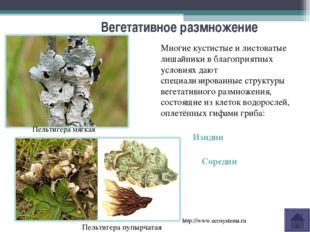 Вегетативное размножение Многие кустистые и листоватые лишайники в благоприят