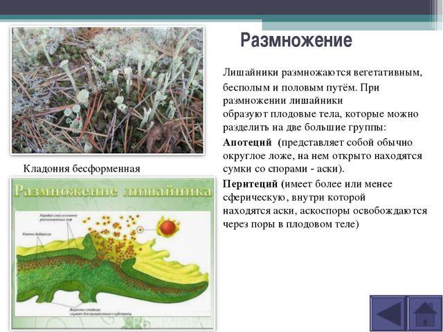 Размножение Лишайники размножаютсявегетативным, бесполымиполовымпутём. П...