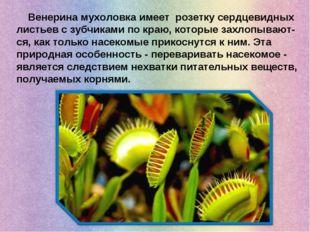Венерина мухоловка имеет розетку сердцевидных листьев с зубчиками по краю, к