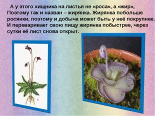 А у этого хищника на листья не «роса», а «жир», Поэтому так и назван – жирян