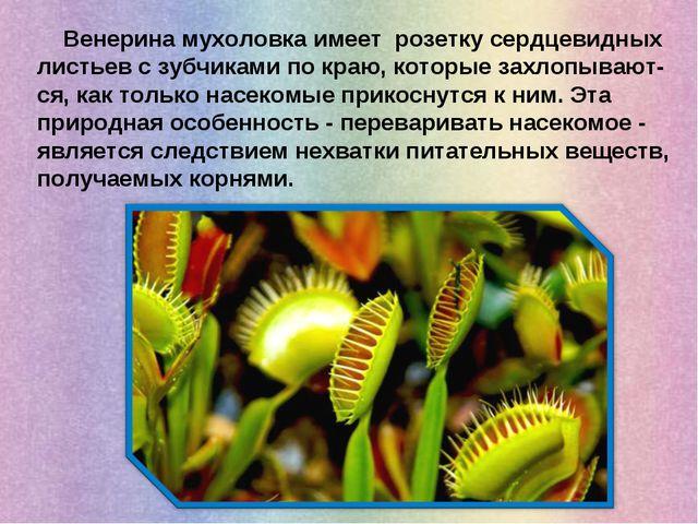Венерина мухоловка имеет розетку сердцевидных листьев с зубчиками по краю, к...