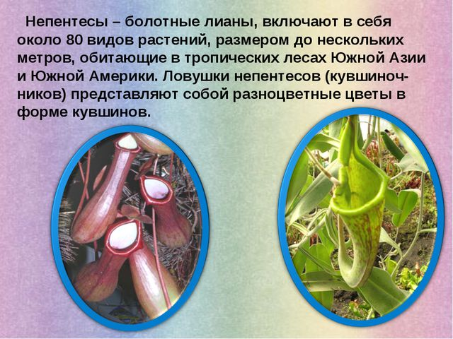 Непентесы – болотные лианы, включают в себя около 80 видов растений, размеро...