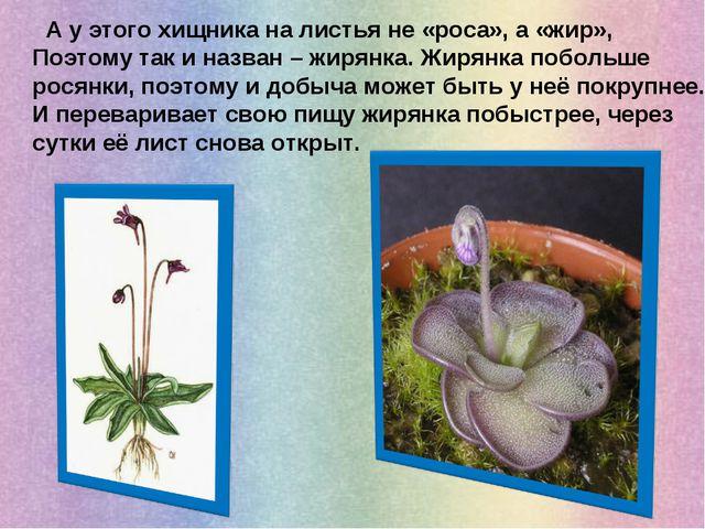 А у этого хищника на листья не «роса», а «жир», Поэтому так и назван – жирян...