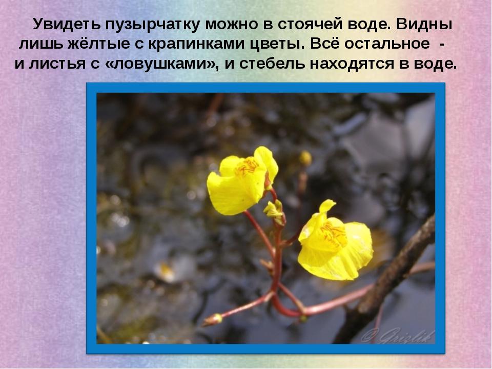 Увидеть пузырчатку можно в стоячей воде. Видны лишь жёлтые с крапинками цвет...