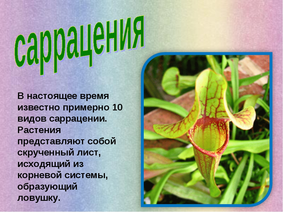 В настоящее время известно примерно 10 видов саррацении. Растения представляю...