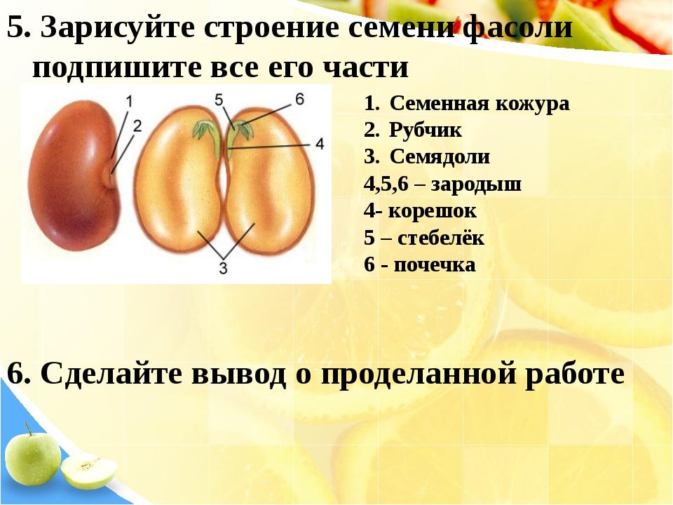 Семенная кожура Рубчик Семядоли 4,5,6 – зародыш 4- корешок 5 – стебелёк 6 - п...