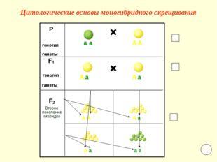 Цитологические основы моногибридного скрещивания а а А А А А а а А А А а А а