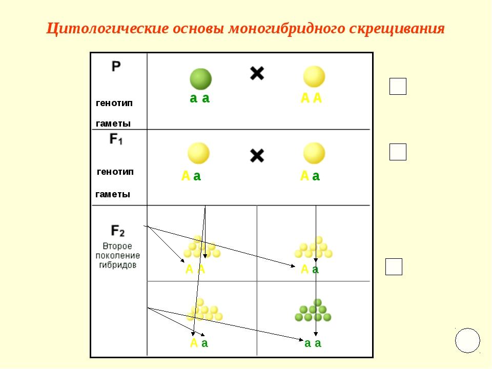 Цитологические основы моногибридного скрещивания а а А А А А а а А А А а А а...
