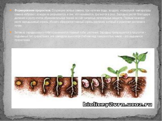 Формирование проростков. Созревшие живые семена, при наличии воды, воздуха, н...