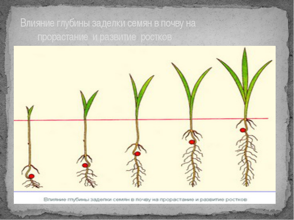 Влияние глубины заделки семян в почву на прорастание и развитие ростков
