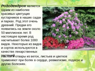 Рододендрон является одним из наиболее красивых цветущих кустарников в наших