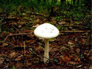 Бледная поганка - гриб рода мухоморов. Шляпка диам. 7—10 см, у молодого гриба