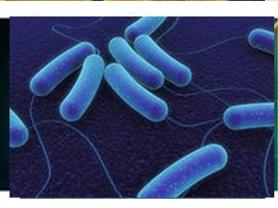Самые распространённые бактерии - БАЦИЛЛЫ – организмы палочковой формы; коро...