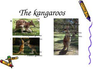 The kangaroos