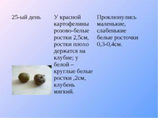 25-ый деньУ красной картофелины розово-белые ростки 2,5см, ростки плохо держ