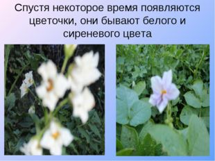 Спустя некоторое время появляются цветочки, они бывают белого и сиреневого цв