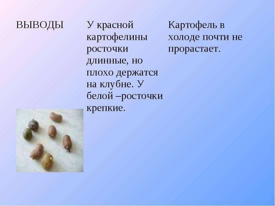 ВЫВОДЫУ красной картофелины росточки длинные, но плохо держатся на клубне. У...