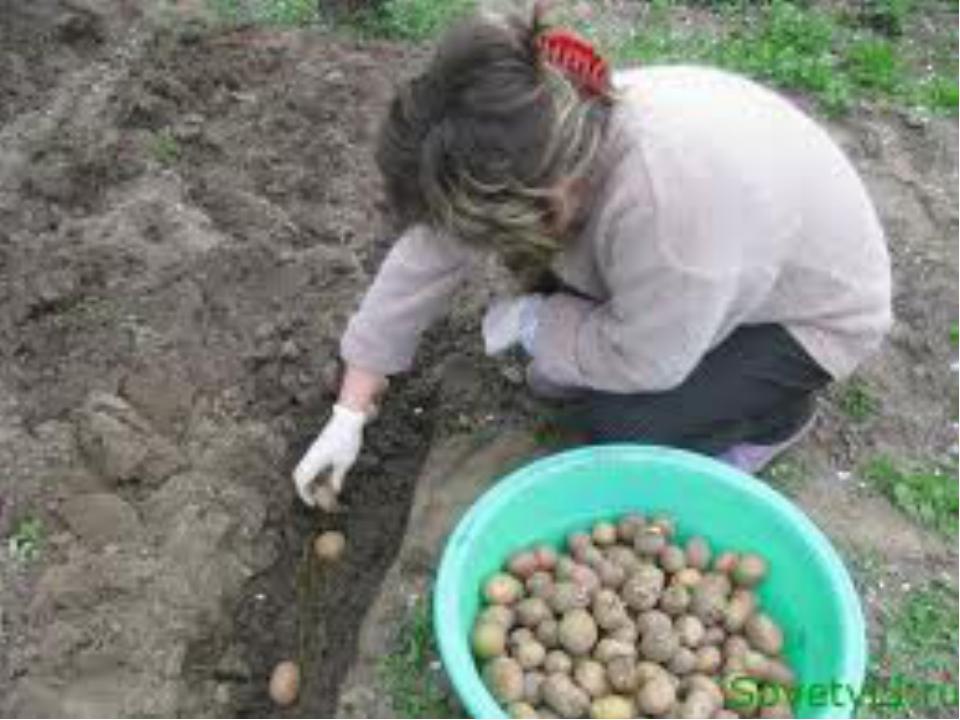 Когда сажают картошку весной 55